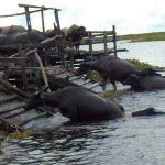 Permata Borneo: Kerbau Rawa Amuntai